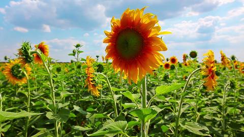 flowering sunflowers Stock Video Footage