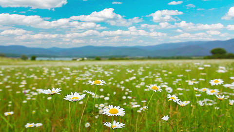 valley of the daisies Stock Video Footage