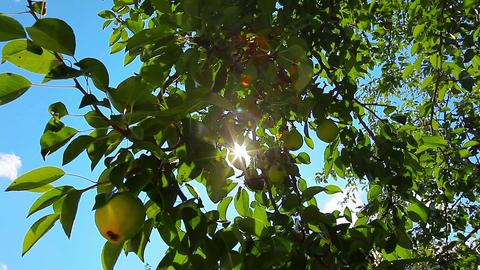 pear tree Stock Video Footage