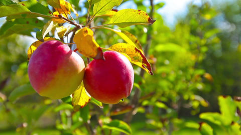 Red Apples Hanging On A Tree stock footage
