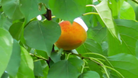 Ripe apricots on the branch Stock Video Footage