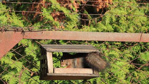 Squirrel gnaws nuts Footage