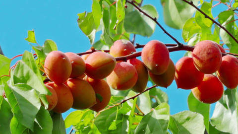 Ripe Apricots On The Branch stock footage