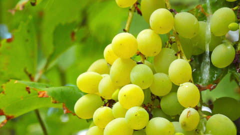 grapes and raindrops Stock Video Footage