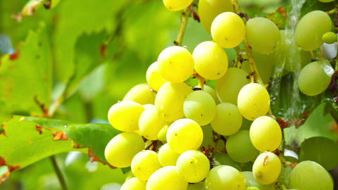 grapes and raindrops Footage