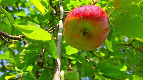 red apple hanging on a tree Footage