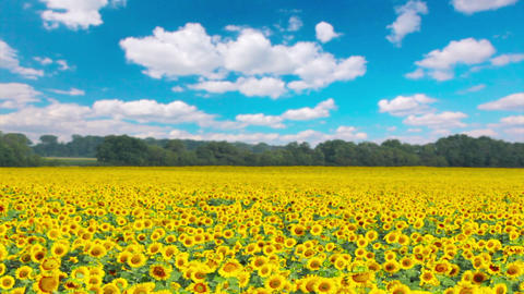 flowering sunflowers Stock Video Footage