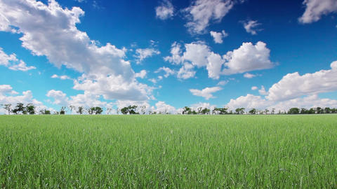 field of green ears and cloudy sky Stock Video Footage