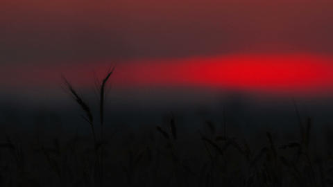 ears of wheat at sunset Stock Video Footage