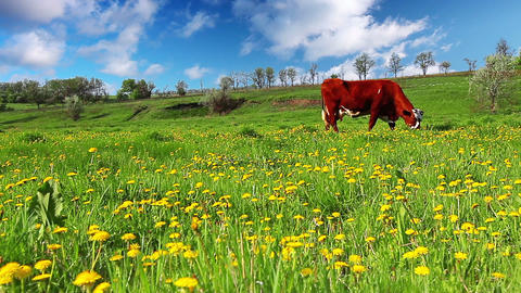 cow on meadow Footage