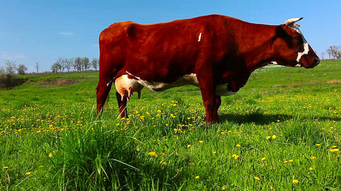 cow on meadow Stock Video Footage