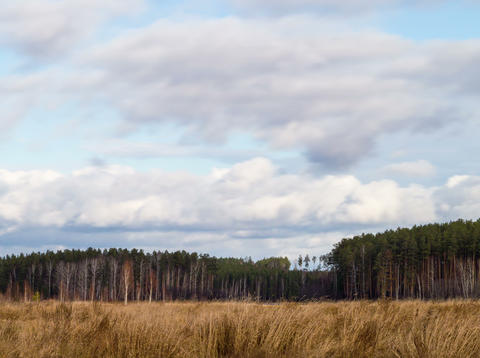 Clouds over the pine forest. Time Lapse. 4x3 Stock Video Footage