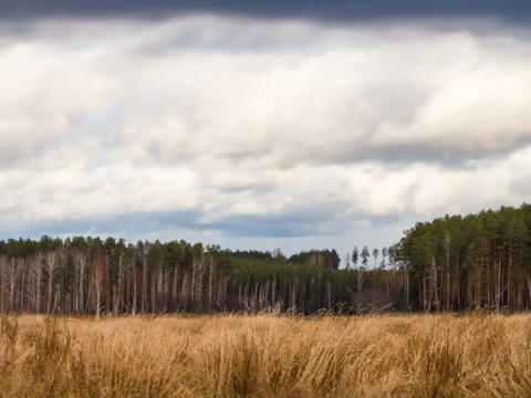 Clouds over the pine forest. Time Lapse Stock Video Footage