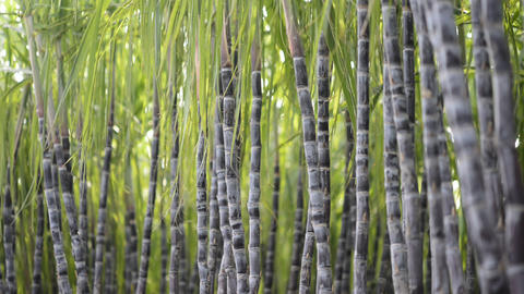 Sugarcane Plantation Stock Video Footage