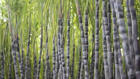 Sugarcane Plantation Footage