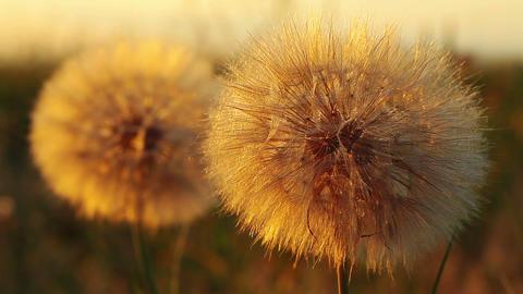 dandelions - macro Stock Video Footage