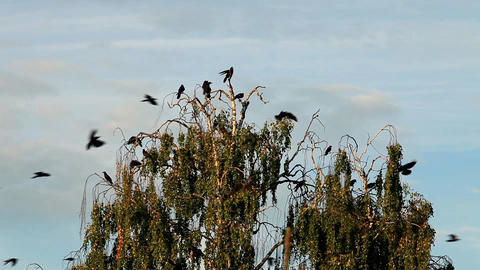 flock crows Stock Video Footage