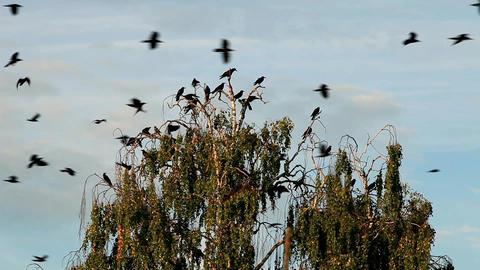 flock crows Footage