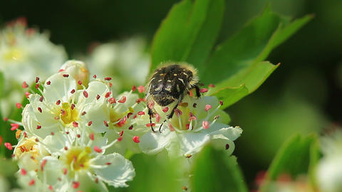 beetle on the flowers of apple-tree Stock Video Footage