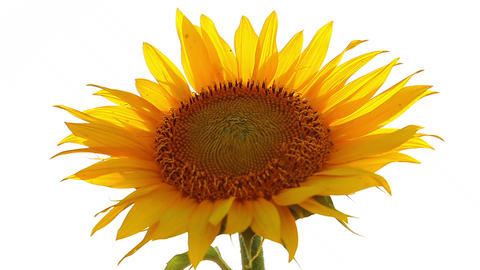 sunflower on a white background Stock Video Footage