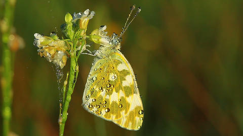 butterfly and morning dew Stock Video Footage