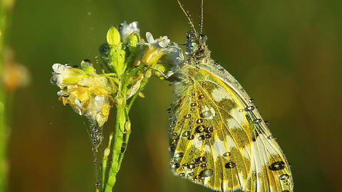 butterfly and morning dew Footage