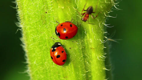 Ladybugs Stock Video Footage