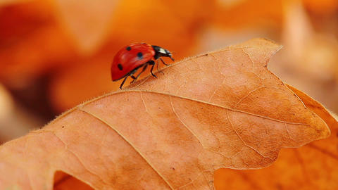 ladybird on an autumn leaf Footage