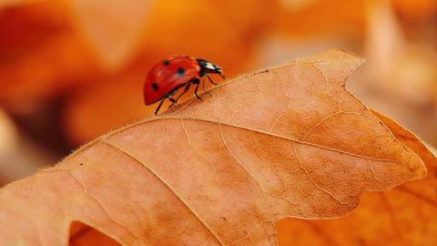 ladybird on an autumn leaf Stock Video Footage