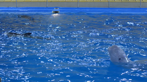 Trained Dolphins Swimming in Blue Water, Closeup Footage