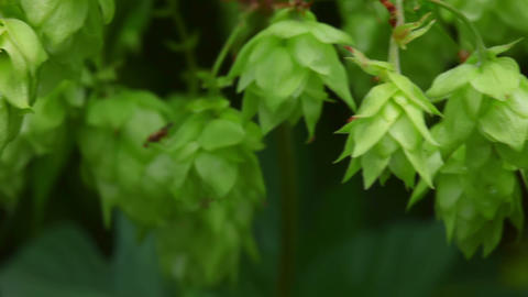 Hop plant Stock Video Footage