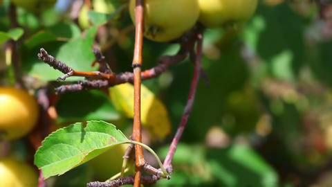 Apples Stock Video Footage
