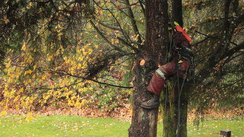 Arborist Carefully Trim Branches Off Douglas Fir Footage