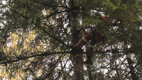 Arborist Cuts Off Branch On Douglas Fir Tree Stock Video Footage