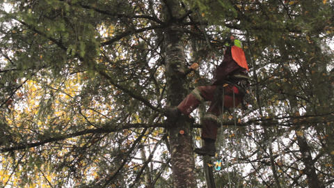 Arborist Cuts Off Branch On Douglas Fir Tree Footage