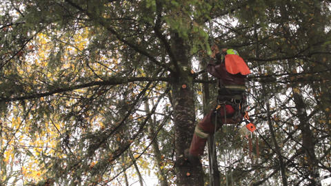 Arborist Gets Into Cutting Position On Douglas Fir Stock Video Footage