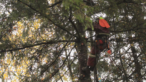 Arborist Gets Into Cutting Position On Douglas Fir Stock Video Footage