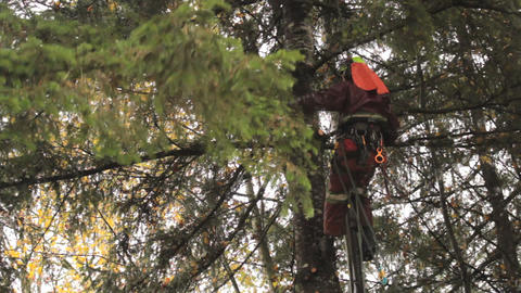 Arborist Gets Into Cutting Position On Douglas Fir Footage