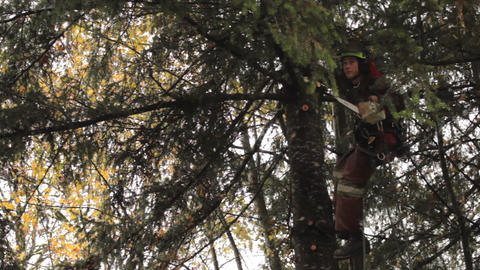 Arborist Skillfully Cuts Branches OfF Douglas Fir Stock Video Footage