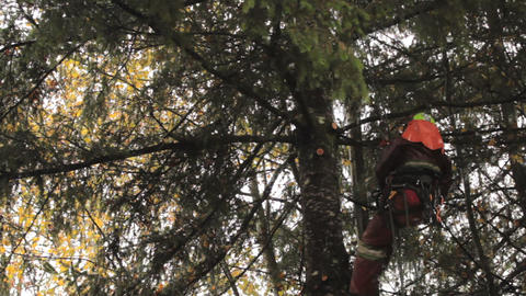 Arborist Skillfully Cuts Branches OfF Douglas Fir Footage