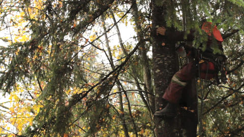 Arborist Trimming Branches High Up On Douglas Fir Stock Video Footage