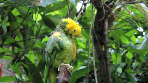 Yellow Fronted Parrot Sitting In Tree Stock Video Footage