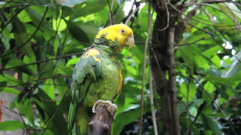 Yellow Fronted Parrot Sitting In Tree Footage
