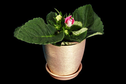 4K. Growth of Gloxinia flower buds ALPHA matte, FU Stock Video Footage