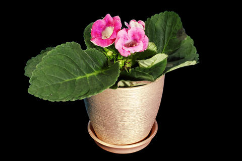 4K. Growth of Gloxinia flower buds ALPHA matte, FU Footage