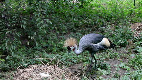 Crowned crane to sit on the nest, FULL HD. (Balear Stock Video Footage