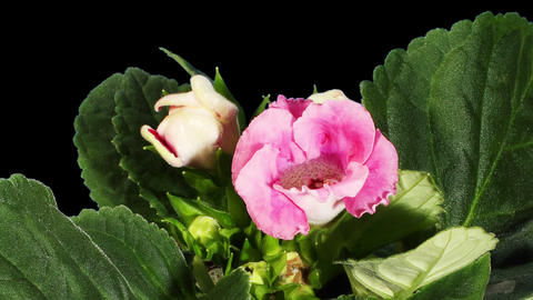 Growth of Gloxinia flower buds ALPHA matte Stock Video Footage