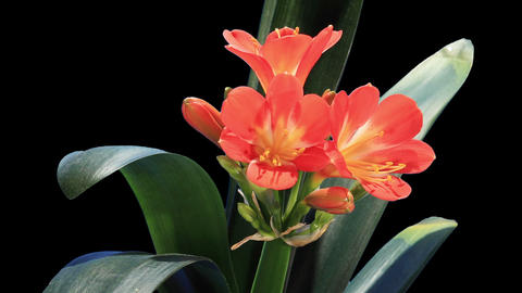 Growth of Clivia flower buds ALPHA matte, FULL HD Stock Video Footage