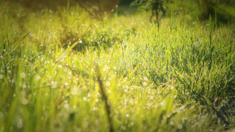 Morning Dew Drops On Green Grass Stock Video Footage