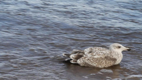sea seagull goes on waves Footage